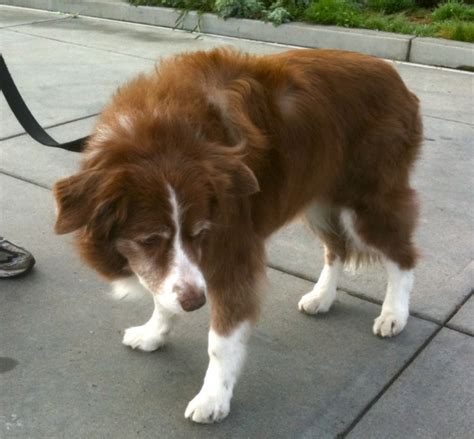 Dog of the Day: Red Australian Shepherd - The Dogs of San