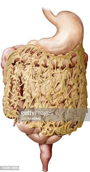 Greater omentum, It is a large fold of visceral peritoneum