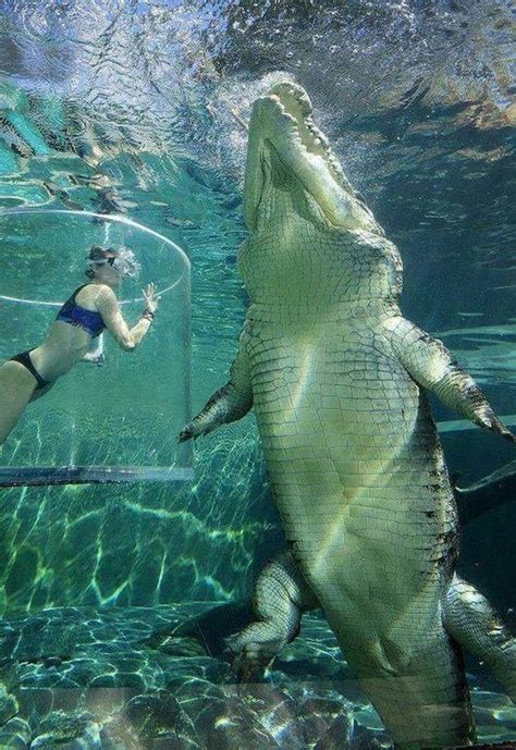 The size of this saltwater crocodile