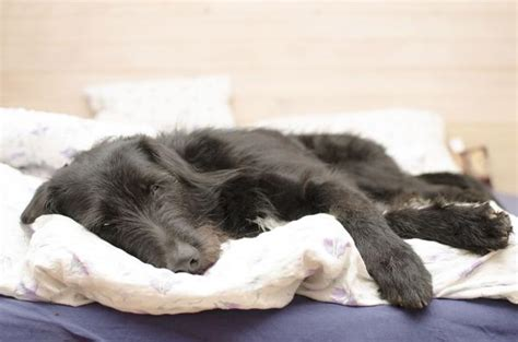 Pancreatic Cancer (Insulinoma) in Dogs - Symptoms, Causes