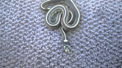 High-Yellow Striped Brown-Belly California King Snake