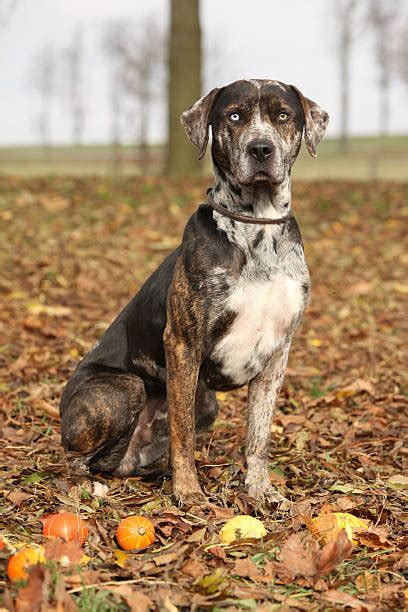 Royalty Free Catahoula Leopard Dog Pictures, Images and