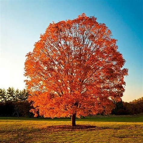 Sugar Maple For Sale Online | The Tree Center