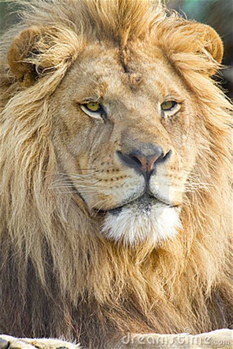Male African Lion Face Stock Photo - Image: 19516430