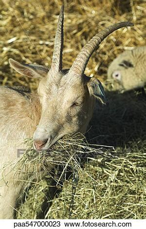 """Stock Photo of """"Goat eating hay, sheep in background"""