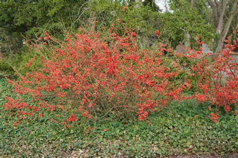 Chaenomeles japonica - the japanese quince, chaenomeles