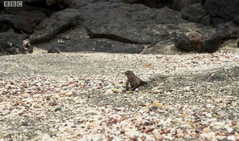 Planet Earth 2 - Watch baby iguana and snake chase as show