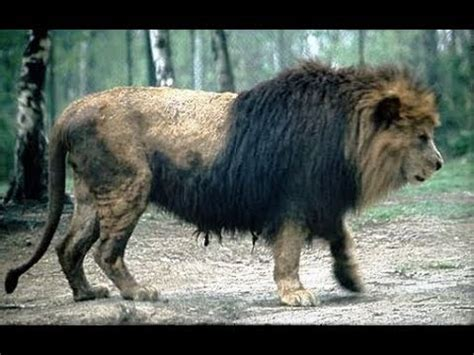 The Barbary lion - YouTube