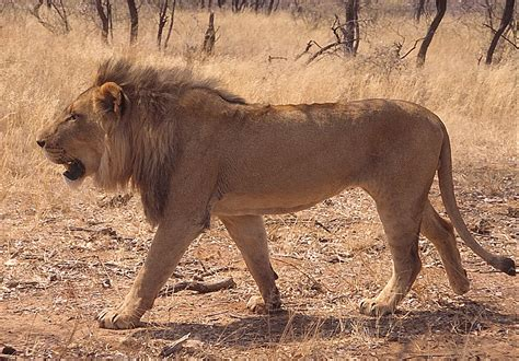 Lion Walking | The Lion (Panthera leo) is a mammal of the