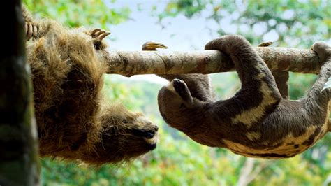 Spy in the Wild | 'Spy Sloth' Meets Real Sloth | Nature | PBS