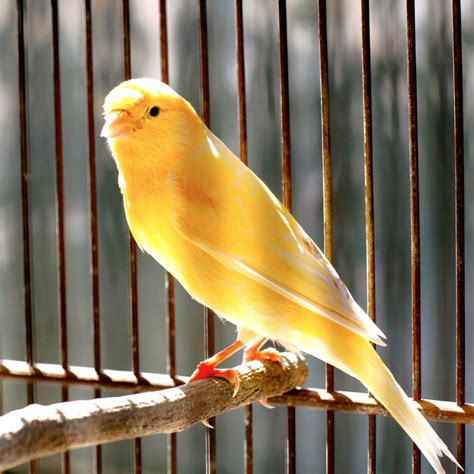 German Roller Canary Health, Personality, Colors and